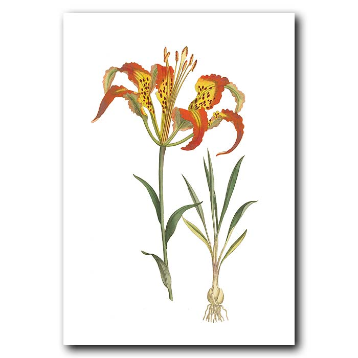 Fine art print for sale. Catesby's Lily