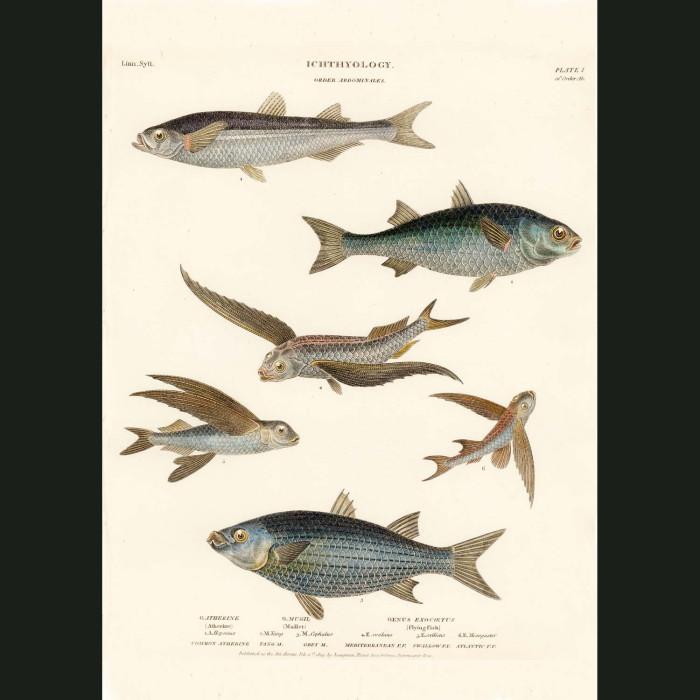 Fine art print for sale. Mullet & Flying Fish