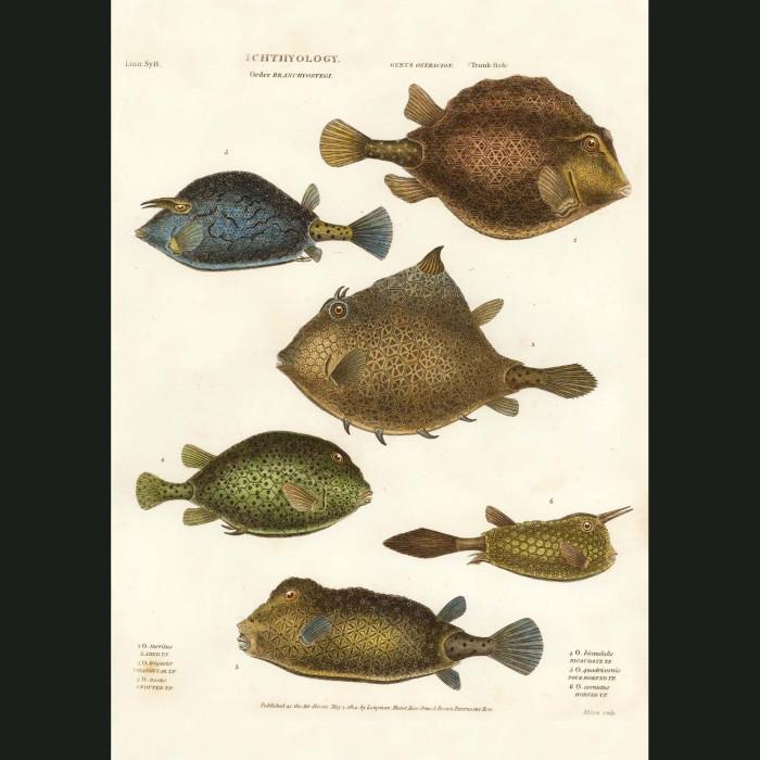 Fine art print for sale. Box Fish