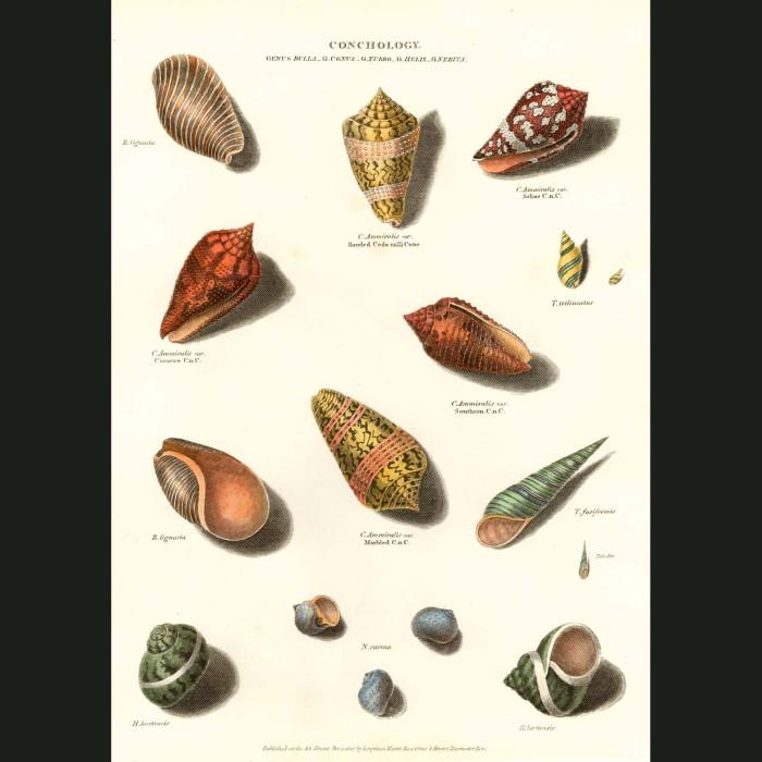 Fine art print for sale. Helix Shells