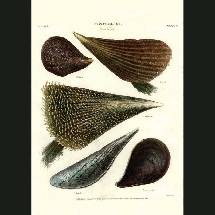 Fine art print for sale. Pinna Or Pen Shells
