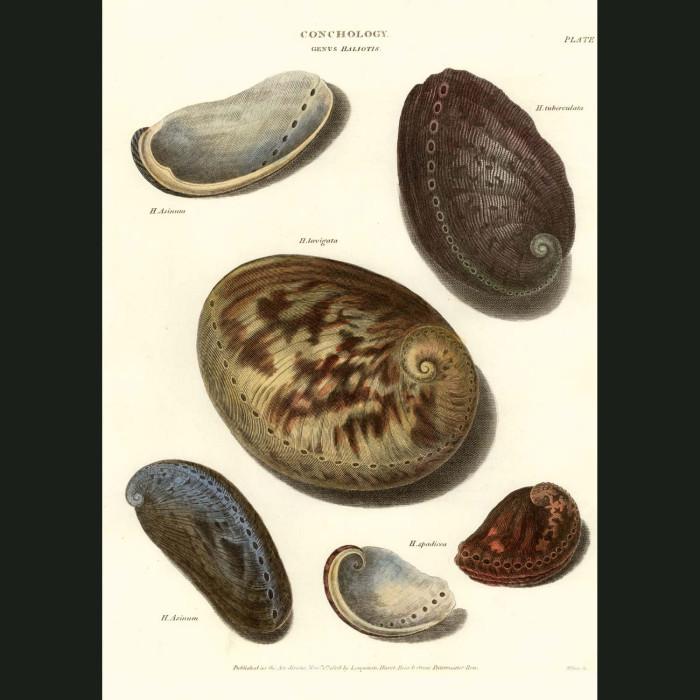 Fine art print for sale. Abalone Shells