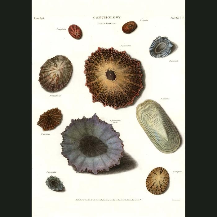 Fine art print for sale. Limpet Shells