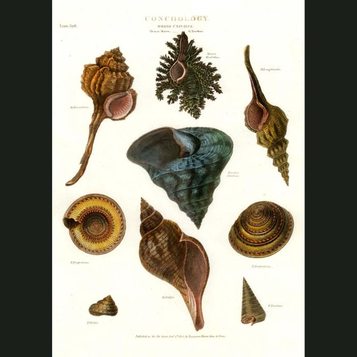 Fine art print for sale. Murex Shells