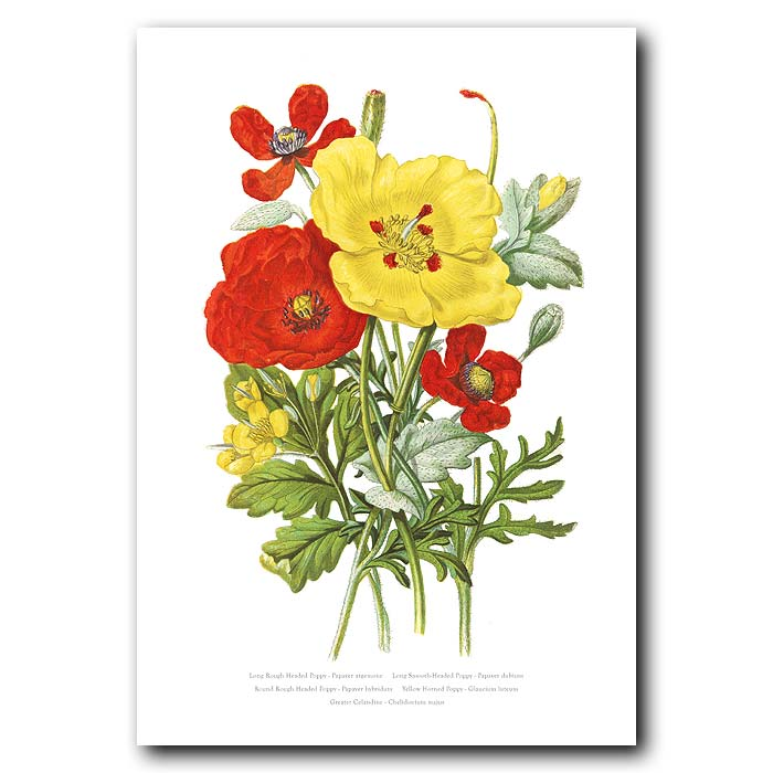 Fine art print for sale. Poppies