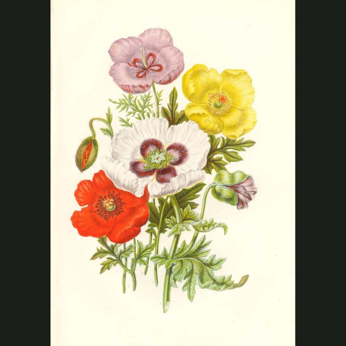 Fine art print for sale. Opium Poppy