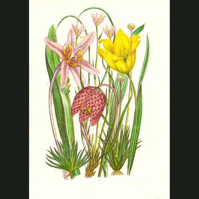 Fine art print for sale. Wild Tulip & Saffron