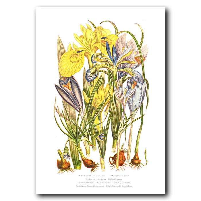 Fine art print for sale. Crocus & Iris Flowers