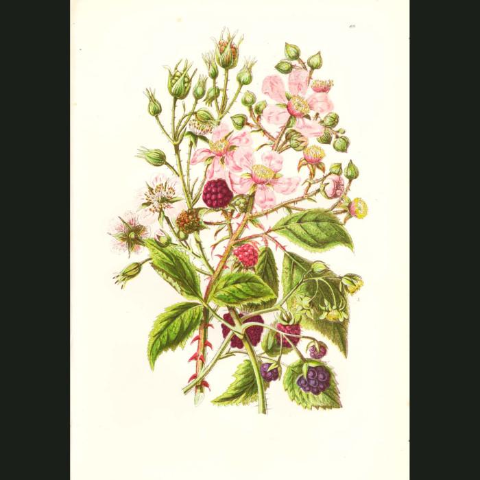 Fine art print for sale. Raspberry & Dewberry
