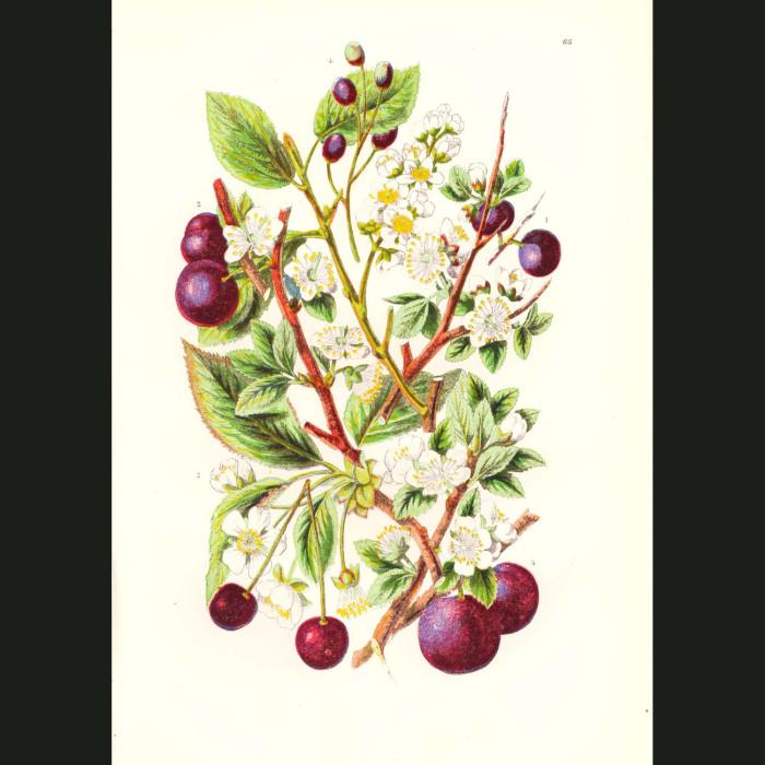 Fine art print for sale. Plums & Cherries