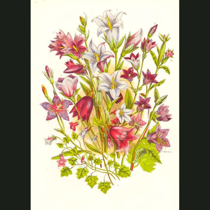 Fine art print for sale. Bellflowers