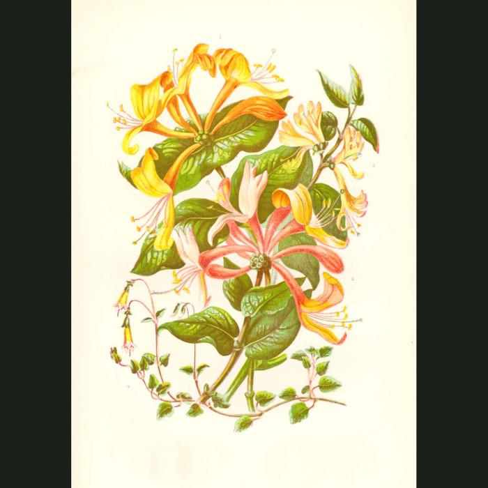 Fine art print for sale. Honeysuckle
