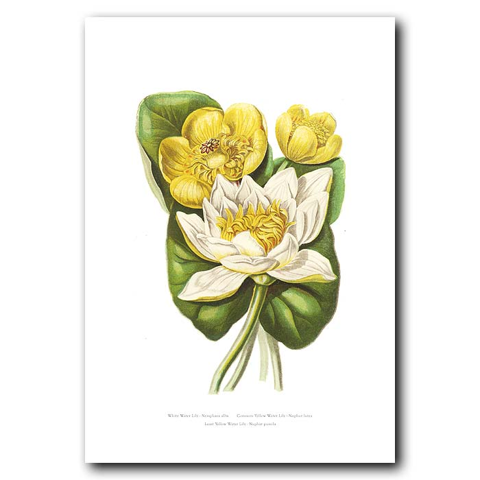 Fine art print for sale. Water Lily