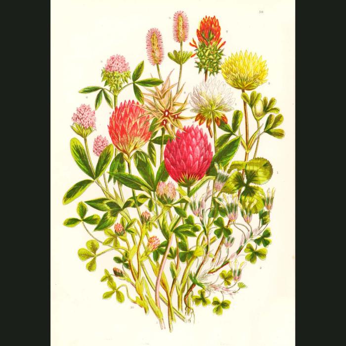 Fine art print for sale. Clover & Trefoil Flowers
