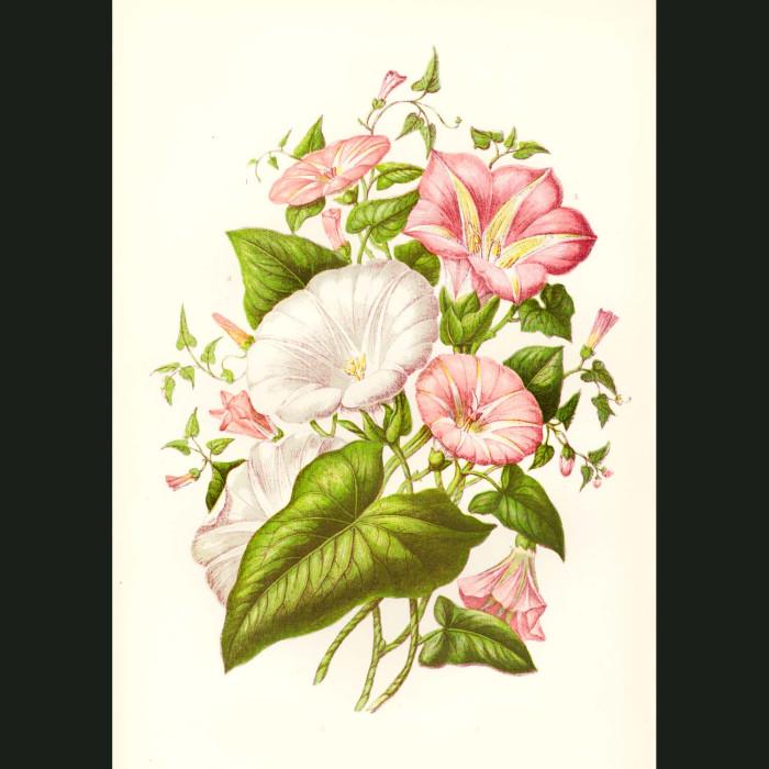 Fine art print for sale. Morning Glory Flowers