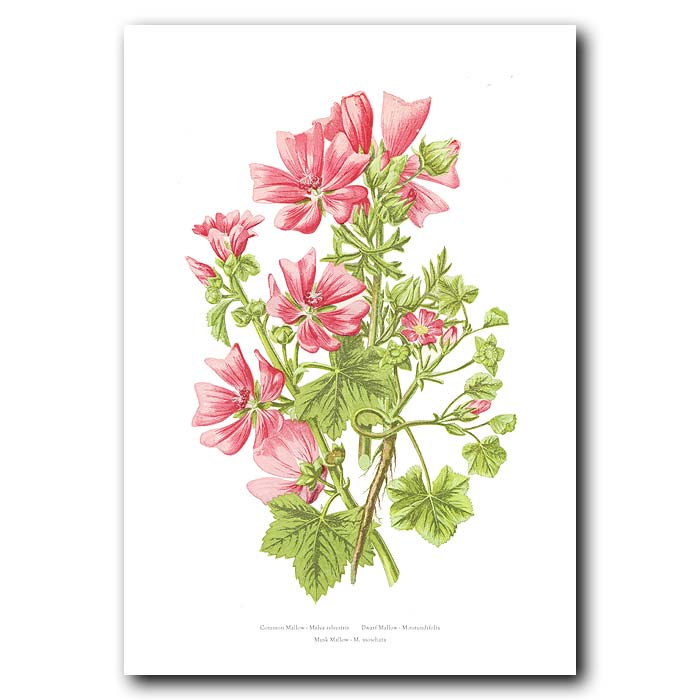 Fine art print for sale. Mallow Flowers
