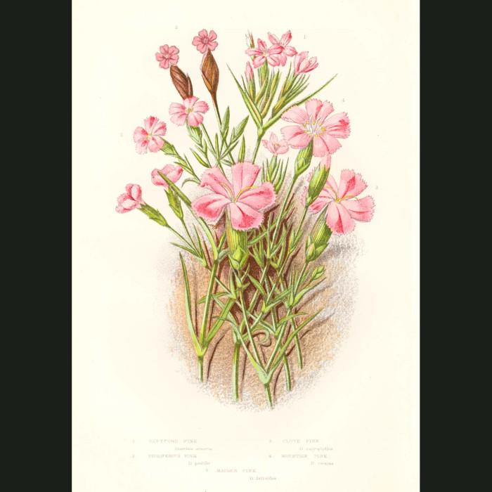 Fine art print for sale. Carnation