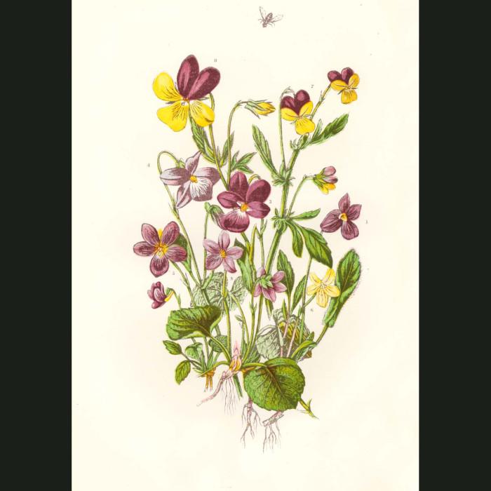 Fine art print for sale. Violets