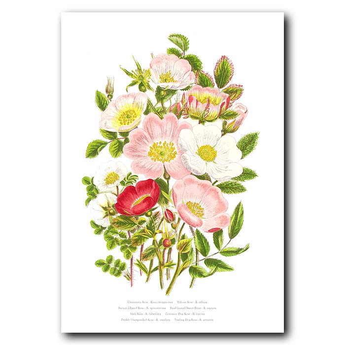 Fine art print for sale. Trailing Dog Rose & Prickly Rose