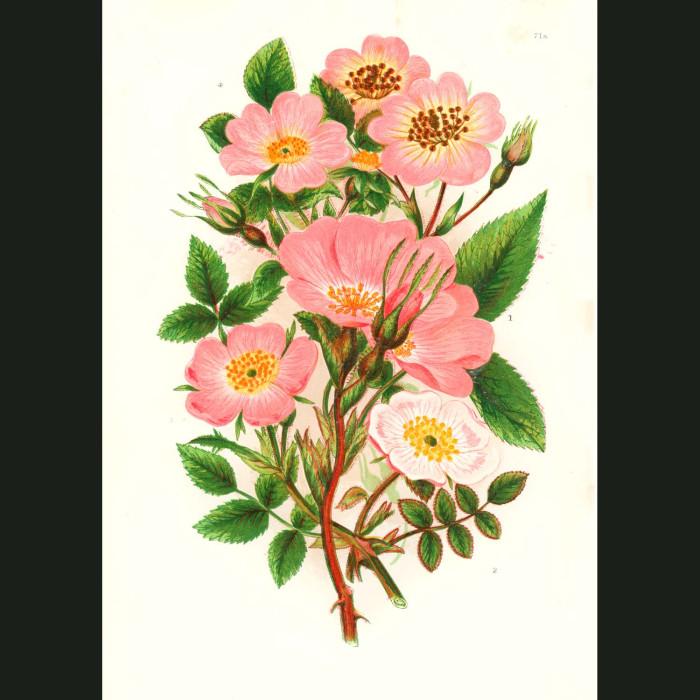 Fine art print for sale. Pink Roses