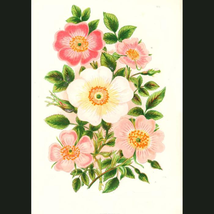Fine art print for sale. Dog Rose & Downy Rose