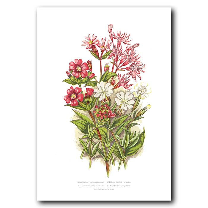 Fine art print for sale. Ragged Robin & Red Campion
