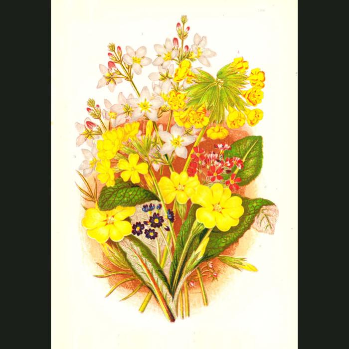 Fine art print for sale. Violets & Primroses