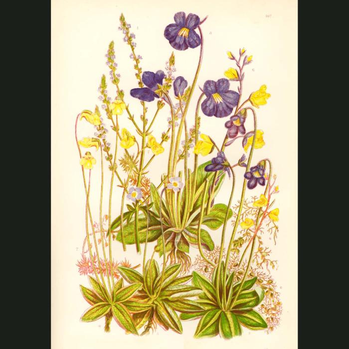 Fine art print for sale. Carnivorous Butterwort Plant
