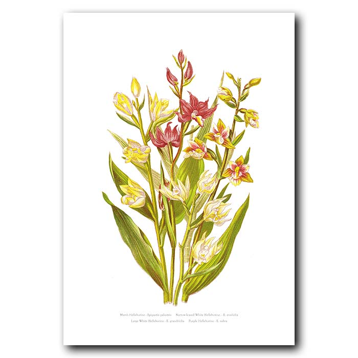 Fine art print for sale. Helleborine Orchids