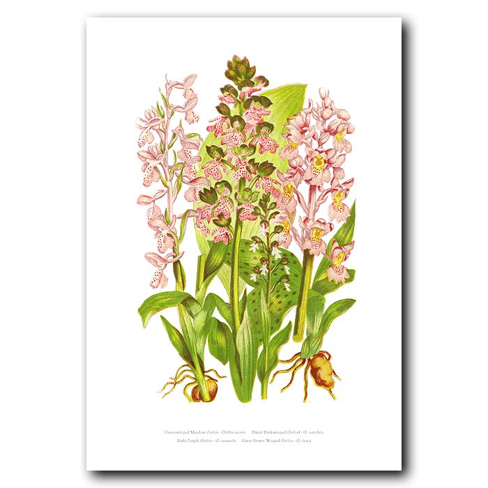 Fine art print for sale. Winged Orchid
