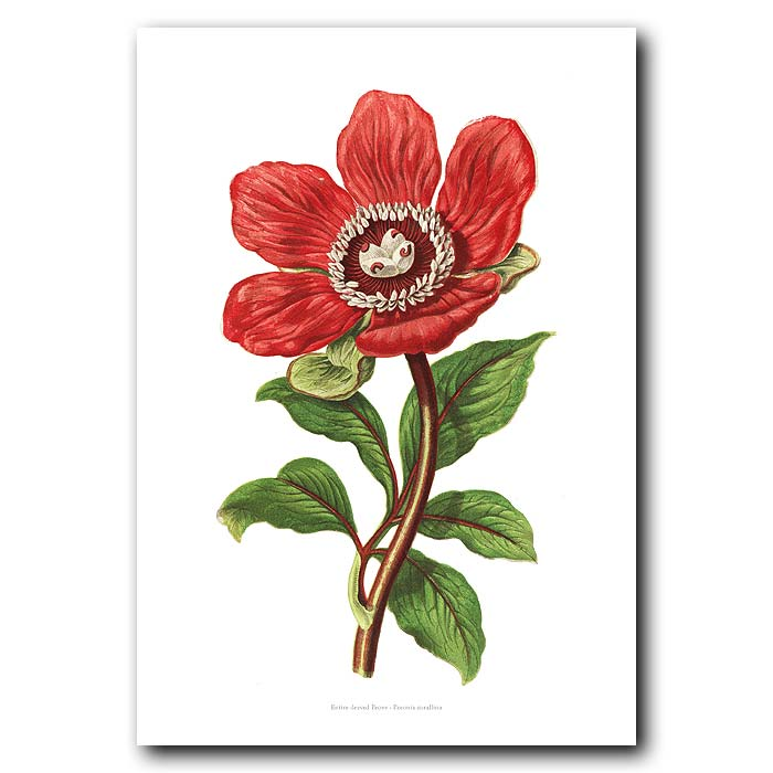 Fine art print for sale. Red Peony