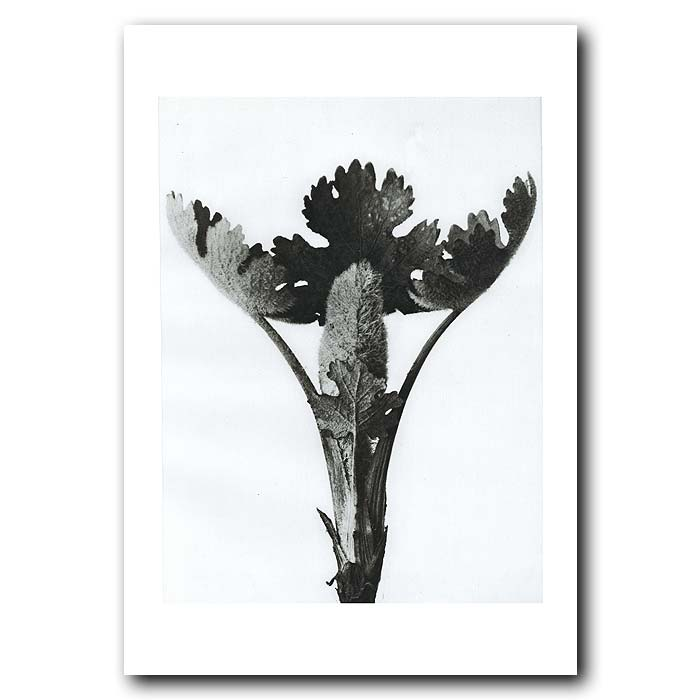 Fine art print for sale. Plume Poppy (magnified 5x)
