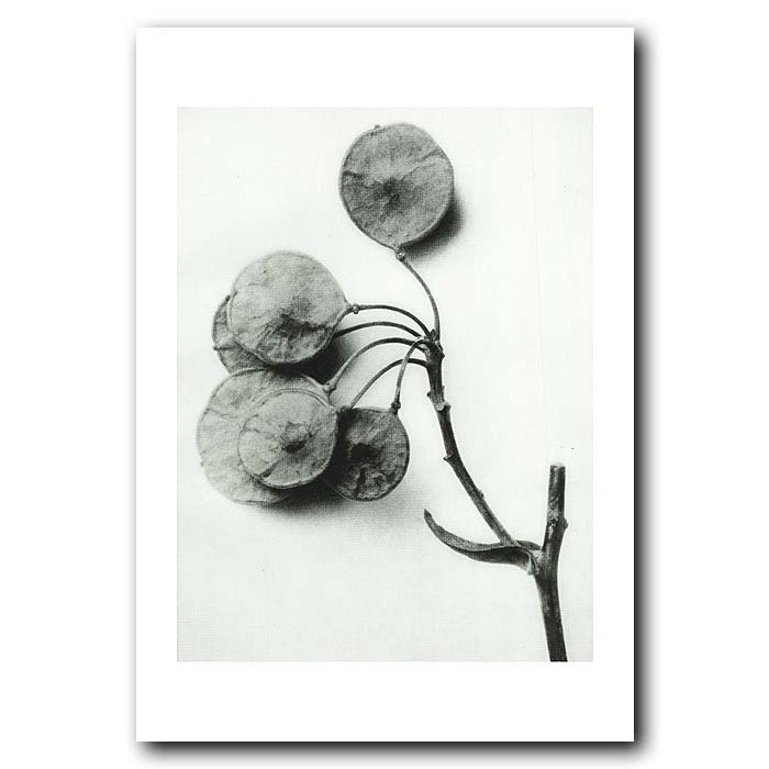 Fine art print for sale. Hoptree Or Water Ash(6x)