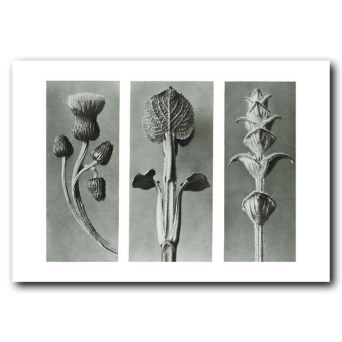 Fine art print for sale. Thistle And Sage