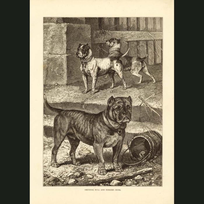 Fine art print for sale. Bulldogs
