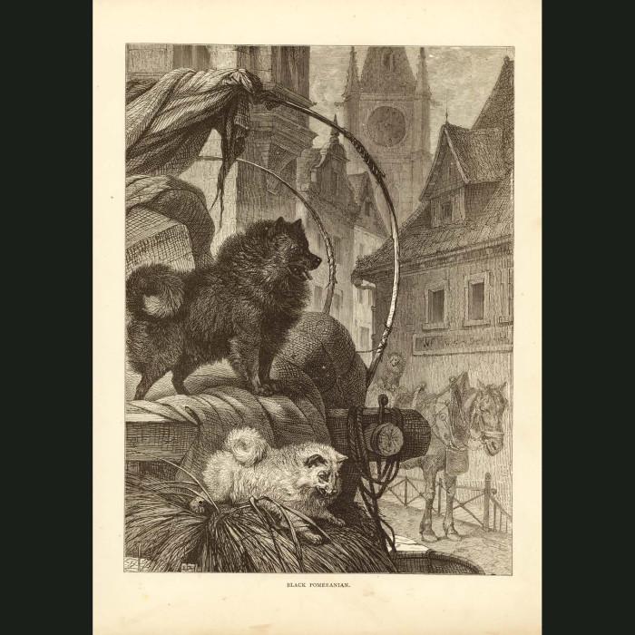 Fine art print for sale. Pomeranian Dogs