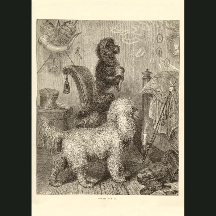 Fine art print for sale. Poodles
