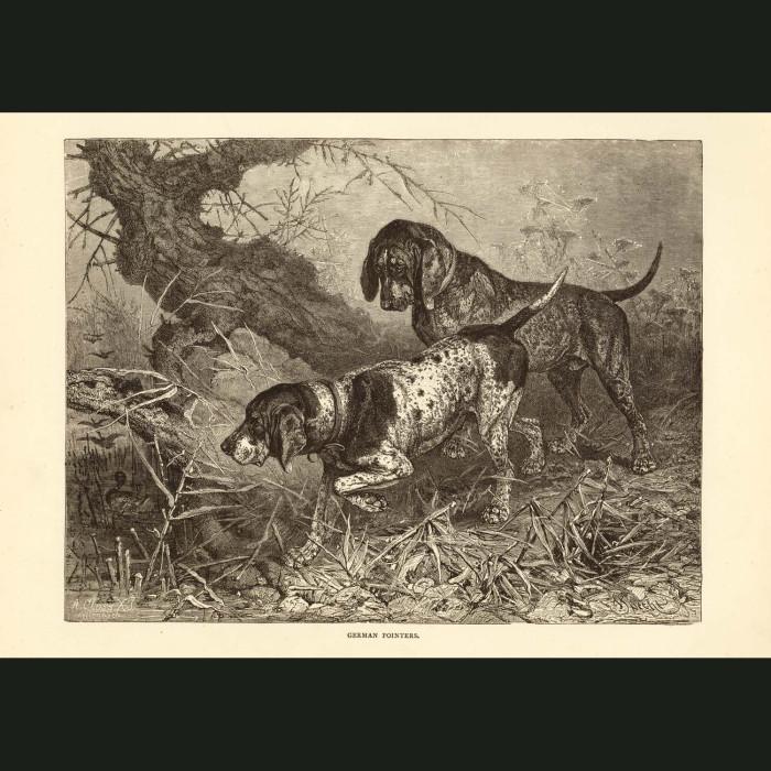 Fine art print for sale. German Pointer Dogs