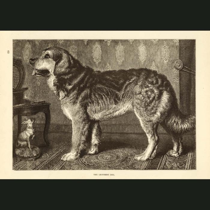 Fine art print for sale. Leonberg Dog