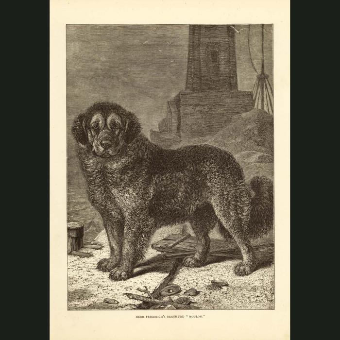 Fine art print for sale. Berghund
