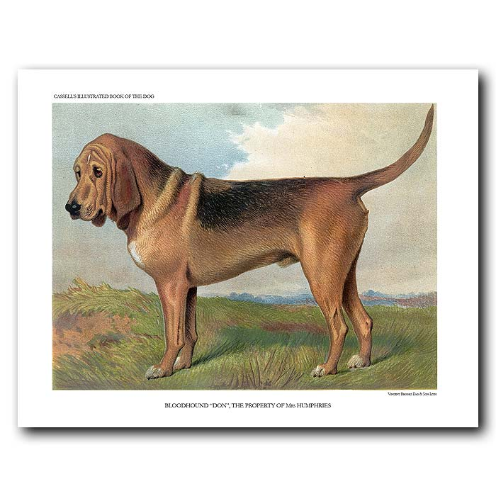 Fine art print for sale. Bloodhound