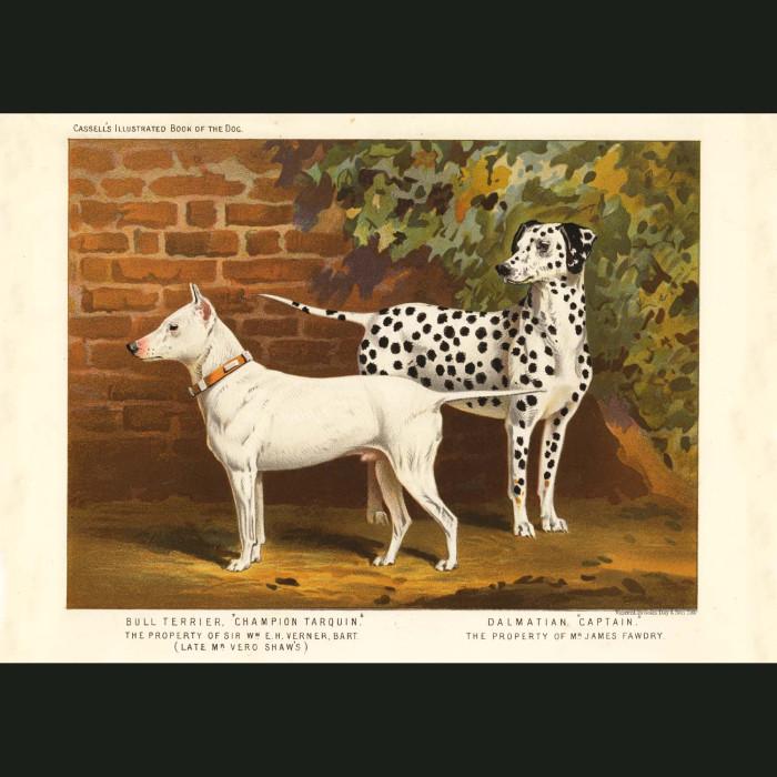Fine art print for sale. Bull Terrier and Dalmatian