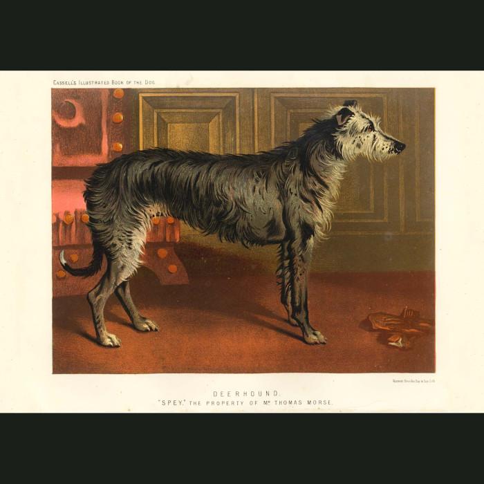 Fine art print for sale. Deerhound
