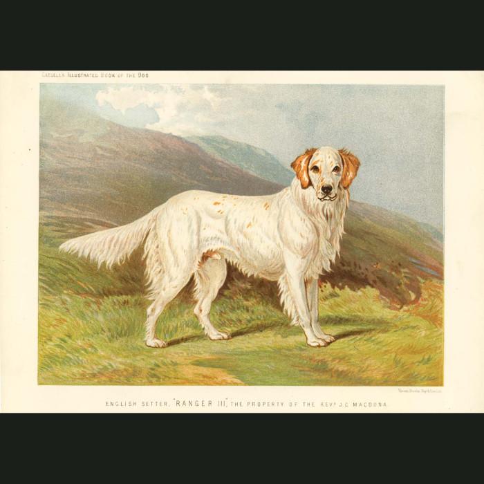 Fine art print for sale. English Setter