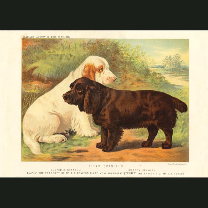 Fine art print for sale. Clumber Spaniel, Sussex Spaniel
