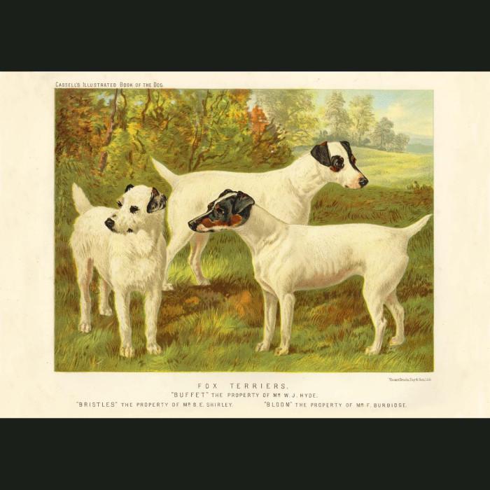 Fine art print for sale. Fox Terriers