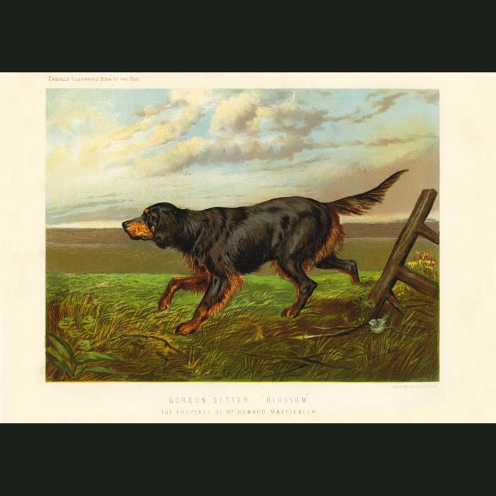 Fine art print for sale. Gordon Setter