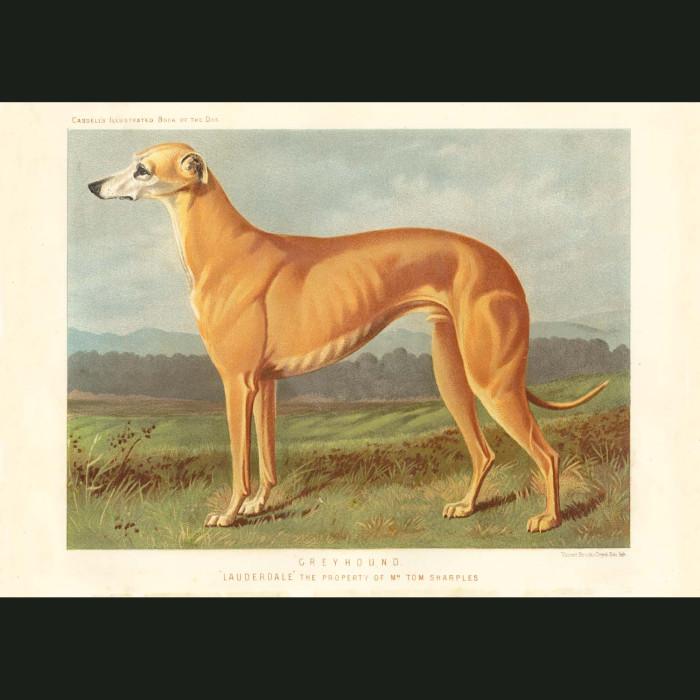 Fine art print for sale. Greyhound