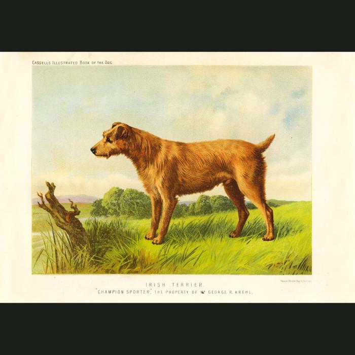 Fine art print for sale. Irish Terrier