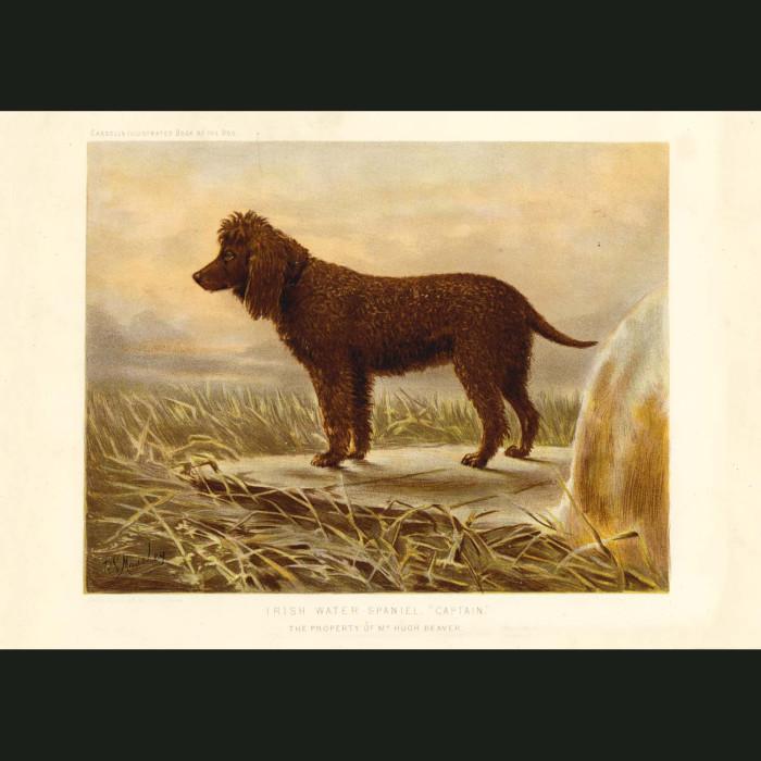 Fine art print for sale. Irish Water Spaniel